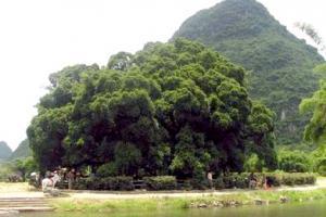 红河大榕树