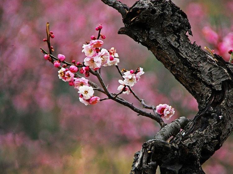 南京国际梅花节
