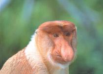 拉卜湾长鼻猴保护区