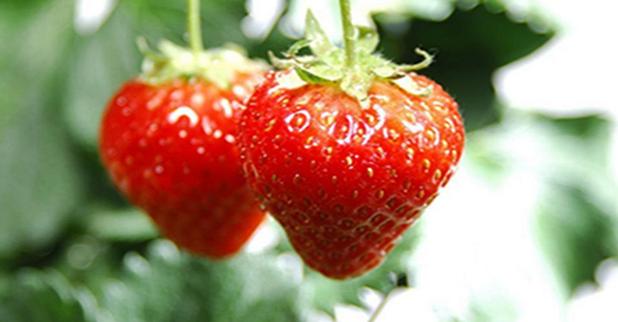 乡村草莓园