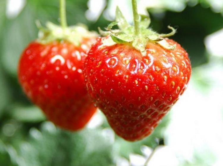 白鹤草莓园