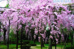樱花欢乐园